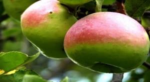 gumushane-gobek-elması